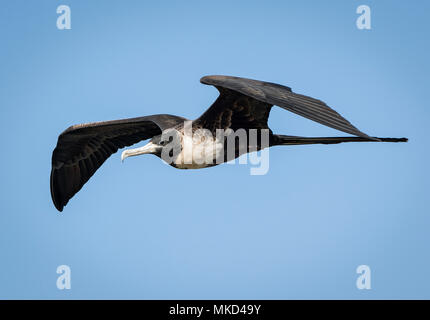 Magnificent Frigatebird (Fregata magnificens), female flying, Panama, March - Stock Photo