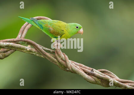 Orange-chinned Parakeet (Brotogeris jugularis), Gamboa, Panama, November - Stock Photo