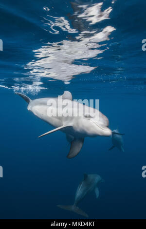 Indian Ocean bottlenose dolphin (Tursiops aduncus) in the lagoon, Mayotte, Indian Ocean - Stock Photo
