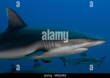 Close right side view Grey Shark (Carcharhinus amblyrhynchos), Tahiti, French Polynesia - Stock Photo