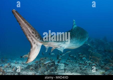 Back view Tiger Shark (Galeocerdo cuvier) swimming above the bottom, Tahiti, French Polynesia - Stock Photo