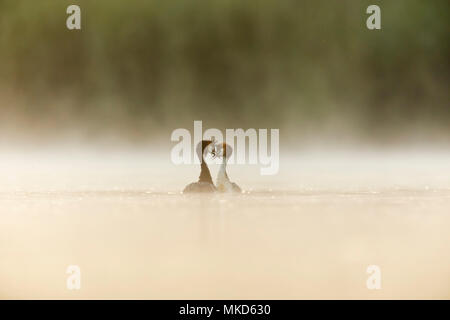 Pair of Great crested grebes (Podiceps cristatus) displaying on water in the mist at dawn, Dombes, France - Stock Photo
