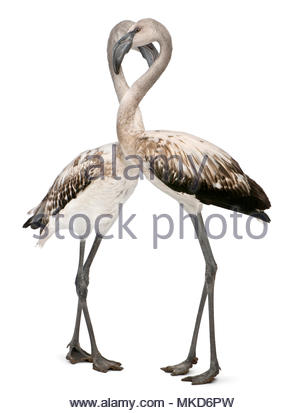 Greater Flamingo, (Phoenicopterus roseus), 8 months old, standing in front of white background Mulhouse Zoological and Botanical Park, France - Stock Photo