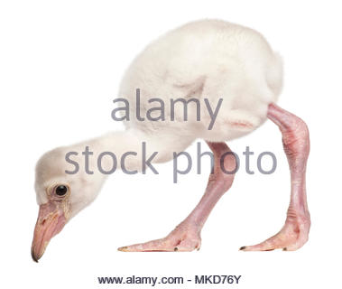 Greater Flamingo, (Phoenicopterus roseus), 14 days old, in front of white background, Mulhouse Zoological and Botanical Park, France - Stock Photo