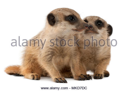 Meerkat or Suricate, (Suricata suricatta), babies, in front of white background Mulhouse Zoological and Botanical Park, France - Stock Photo