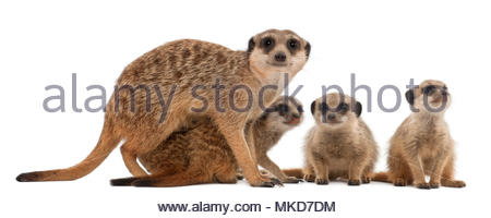 Meerkat or Suricate, (Suricata suricatta), mother and her babies, in front of white background Mulhouse Zoological and Botanical Park, France - Stock Photo
