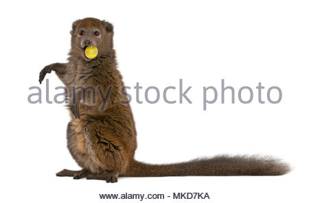 Lac Alaotra bamboo lemur, (Hapalemur alaotrensis), 11 years old, holding food in mouth in front of white background eating Mulhouse Zoological and Botanical Park, France - Stock Photo