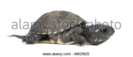 European pond turtle, also called the European pond terrapin, (Emys orbicularis), 6 months old, against white background Mulhouse Zoological and Botanical Park, France - Stock Photo