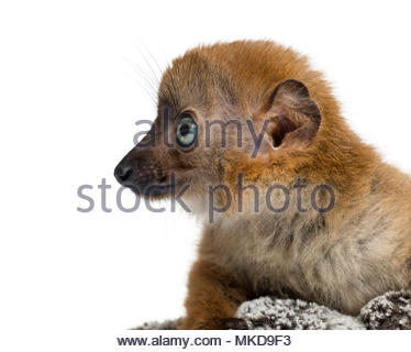 Close-up of a Baby Blue-eyed Black Lemur (Eulemur flavifrons) 3 months old, Mulhouse Zoological and Botanical Park - Stock Photo