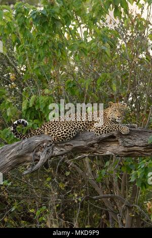 Leopard (Panthera pardus) on a branch, Khwai, Botswana - Stock Photo