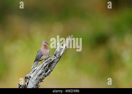 Laughing Dove (Streptopelia senegalensis) on a dead tree, Botswana - Stock Photo
