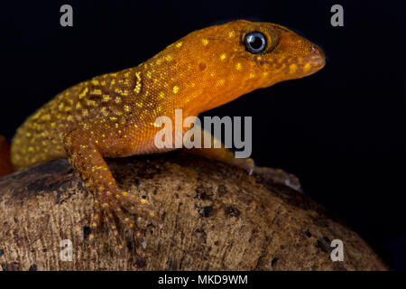 Annulated gecko (Gonatodes annularis) on black background - Stock Photo