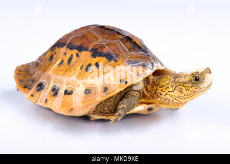 Flowerback Box Turtle (Cuora galbinifrons) on white background - Stock Photo