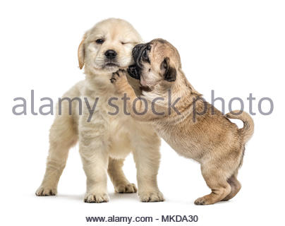 Retriever and pug puppies playing together, isolated on white background - Stock Photo