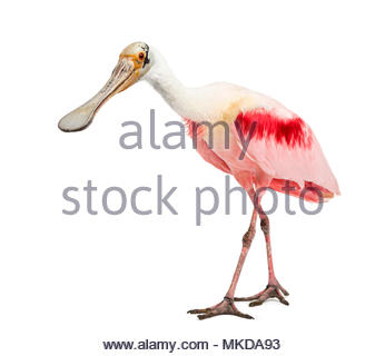 Roseate spoonbill (Platalea ajaja) standing in front of white background, Mulhouse Zoological and Botanical Park, France - Stock Photo