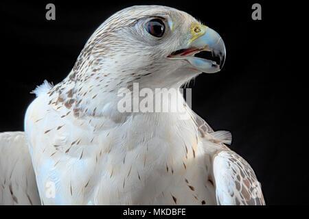 Portrait of Gyrfalcon X Saker falcon (Faclo rusticolus X Falco cherrug) on black background. - Stock Photo