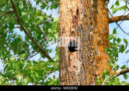 Black Woodpecker (Dryocopus martius) at nest in spring - Stock Photo