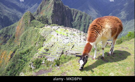 Lama and summit of Huayna Picchu overlooking the site of the ruins of the Inca city of Machu Picchu in the Andes, Peru. - Stock Photo