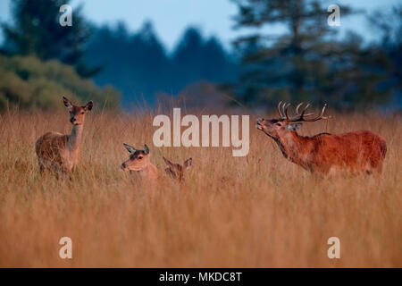 Red Deer (Cervus elaphus) Male in a clearing in autumn, Ardennes, Belgium - Stock Photo