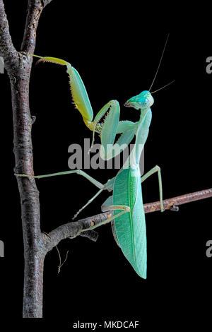 African praying mantis (Sphodromantis lineola) on black background. - Stock Photo