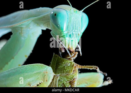 African praying mantis (Sphodromantis lineola) feeding on locust on black background. - Stock Photo
