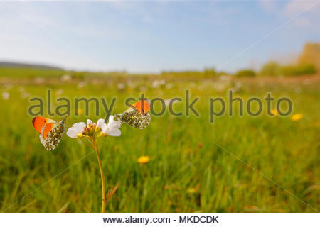 Orange tip (Anthocharis cardamines) males foraging Cuckoo flower (Cardamine pratensis) flowers in a wet meadow in a marsh, in spring, in April, in Picardy - France. - Stock Photo