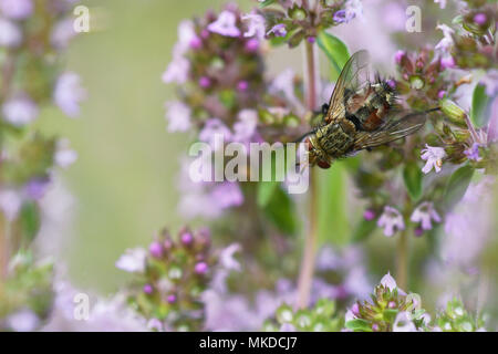 Tachinid fly (Peleteria varia) on a stem of wild Thyme in a meadow of biological pasture of the bourbonnais grove in summer, Auvergne, France - Stock Photo