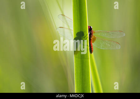 Scarlet Dragonfly (Crocothemis erythraea)in wet meadow Auvergne, France - Stock Photo