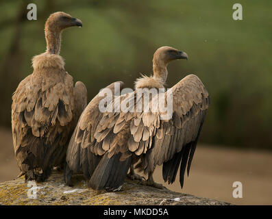 Griffon Vultures (Gyps fulvus) resting. Huesca, Spain. - Stock Photo
