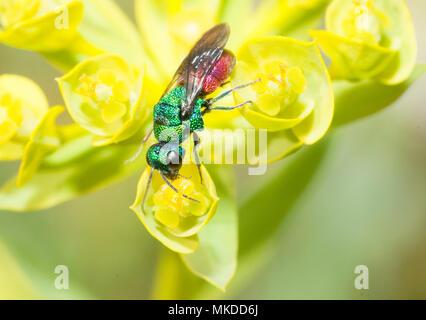 Common ruby-tailed wasp (Chrysis ignita) on an Euphorbia, Danube Delta, Romania - Stock Photo