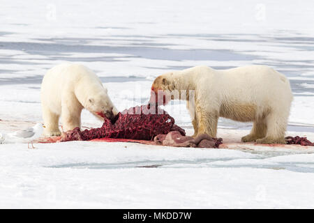 Two polar bears (Ursus maritimus) eating together a walrus (Odobenus rosmarus), on the ice, Spitsbergen, Svalbard, Norwegian archipelago, Norway, Arctic Ocean - Stock Photo
