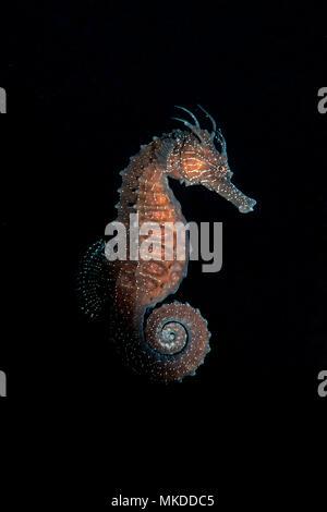 Short-snouted seahorse (Hippocampus hippocampus) on black background, Villefranche sur mer, Alpes Maritimes, France, Mediterranean Sea