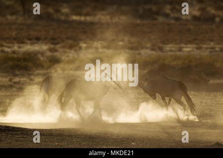 Gemsbok (Oryx gazella). Nervous and raising lots of dust in the early morning. Kalahari Desert, Kgalagadi Transfrontier Park, South Africa. - Stock Photo