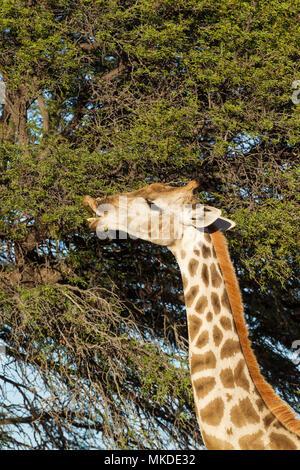 Southern Giraffe (Giraffa giraffa). Female, feeding on the leaves of a camelthorn tree (Acacia erioloba). Kalahari Desert, Kgalagadi Transfrontier Park, South Africa. - Stock Photo