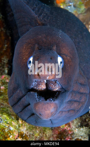 Canary fish. Black Moray (Muraena augusti), Tenerife, Canary Islands. - Stock Photo