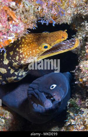 Canary fish. Black Moray (Muraena augusti) and Tiger Moray (Enchelycore anatina), Tenerife, Canary Islands. - Stock Photo