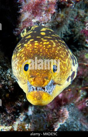 Canary fish. Tiger Moray (Enchelycore anatina), Tenerife, Canary Islands. - Stock Photo