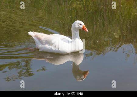 White goose, Anser anser domesticus, Embden goose, Emden goose, swimming in a saltwater canal with reflection - Stock Photo