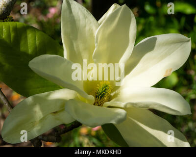 Pale yellow spring flower of the deciduous tree, Magnolia 'Fei Huang'  ('Yellow River') - Stock Photo
