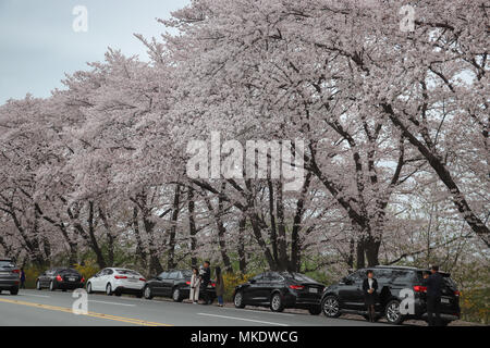 Huge mature cherry trees in full bloom along a road in Gyeongju, South Korea, have attracted many cars to stop to view the beautiful pink blossoms. - Stock Photo