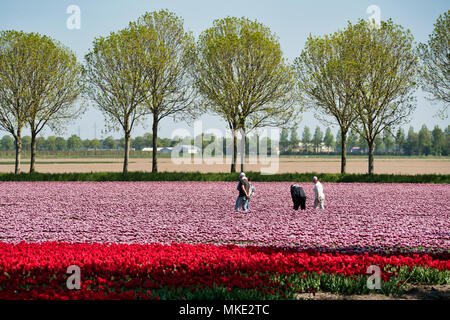 Tulip Flower Fields in Lisse & Amsterdam, The Netherlands - Stock Photo