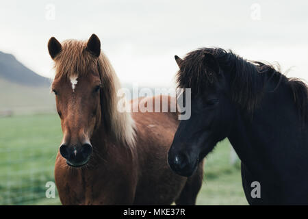 Couple of icelandic horses Stock Photo