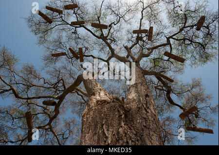 Huge trees with branchy crowns without leaves against the blue sky, on branches numerous homemade African hives, Africa. - Stock Photo