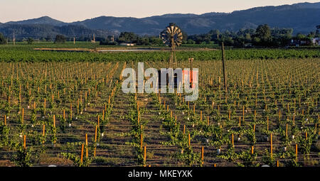 A vintage windmill pumps water to irrigation pipes that nourish newly-growing grape vines that dominate the springtime landscape of Napa Valley, the famed viticulture region of California, USA. The foreground field shows wooden stakes topped by wires to hold up the new vines and plastic irrigation pipes on the ground to water the wine grape plantings. In the background are more mature vines that were planted earlier. - Stock Photo
