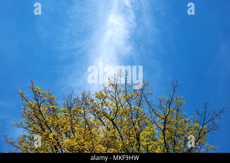 A line of white, wispy cirrus cloud cuts a blue sky above a tree coming into leaf in spring - Stock Photo