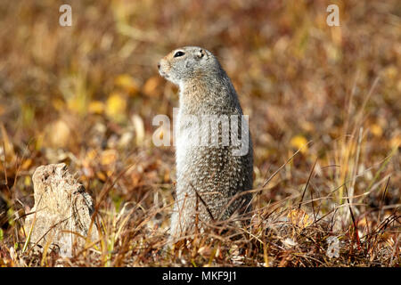 Arctic ground squirrel (Spermophilus parryii) in tundra, Denali National Park, Alaska, USA - Stock Photo