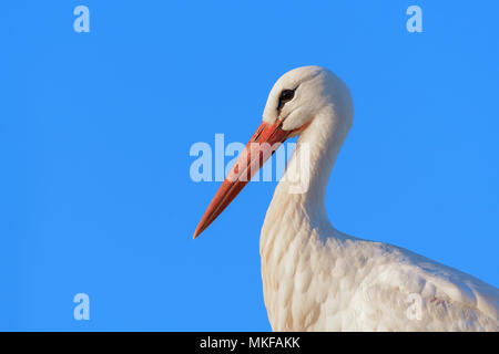 Portrait of White Stork (Ciconia ciconia), Hesse, Germany - Stock Photo
