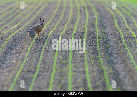 European hare (Lepus europaeus) in a field in spring, Hesse, Germany - Stock Photo