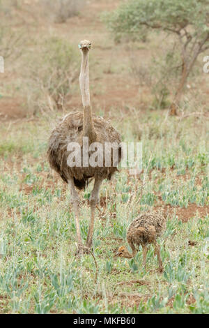 Ostriches (Struthio camelus) female and young, Kruger NP, South Africa - Stock Photo