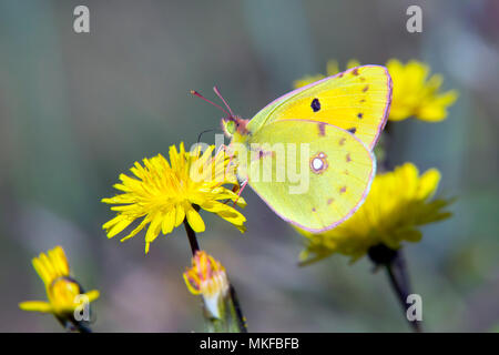Clouded Yellow (Colias crocea) foraging a flower in the bush in spring, Massif des Maures, Hyères area, France - Stock Photo